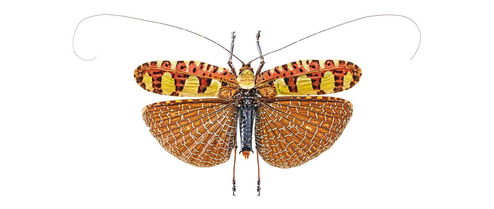 Locusta spec. Orthoptera
