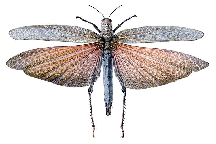 Phyromorphidae